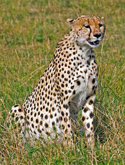 Africa: Big Cats Gallery